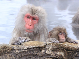 Cute! Snow Monkey Tour depart from Takayama